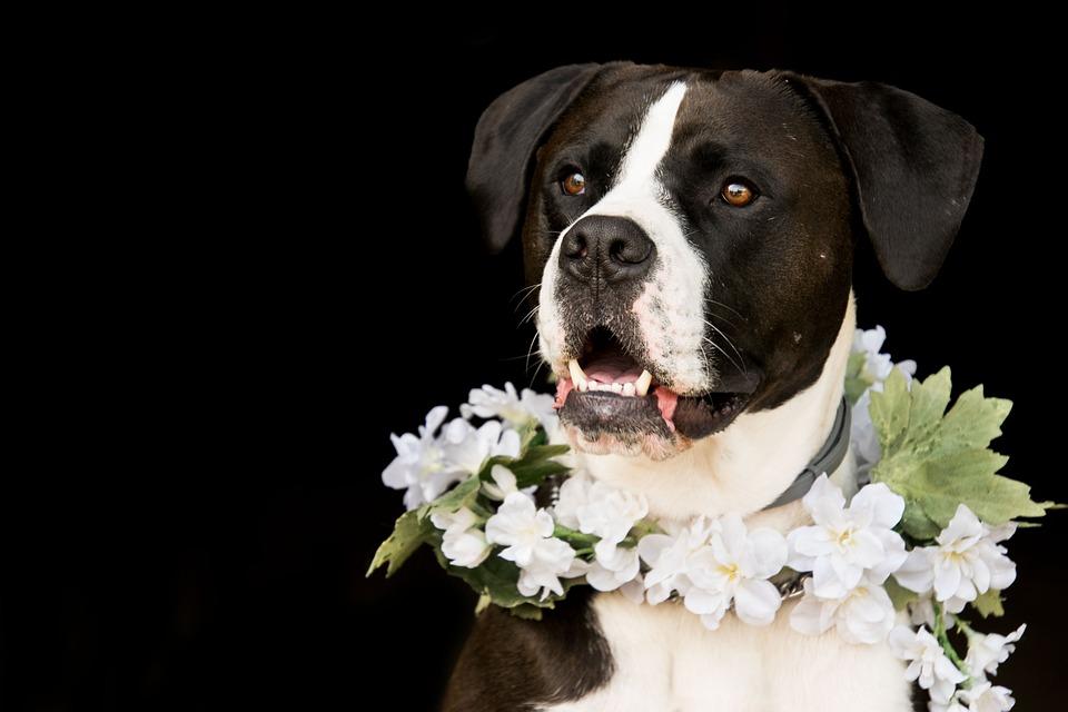 Couronne fleurie pour chien
